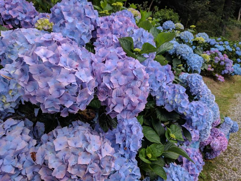 Hortensieblumen lizenzfreies stockfoto
