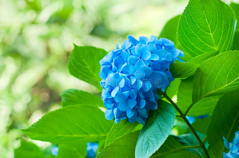 Hortensieblumen stockfoto