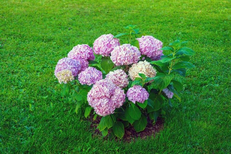 Hortensieblumen im Garten lizenzfreie stockfotografie
