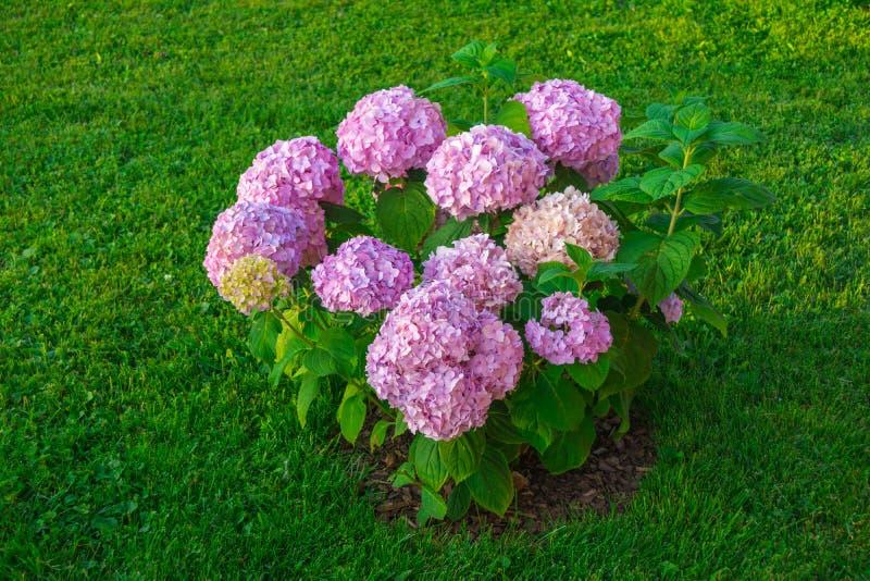 Hortensieblumen im Garten lizenzfreie stockfotos