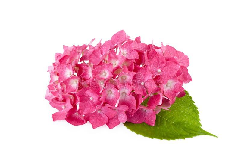 Hortensieblumen lokalisiert auf Weiß stockfotografie