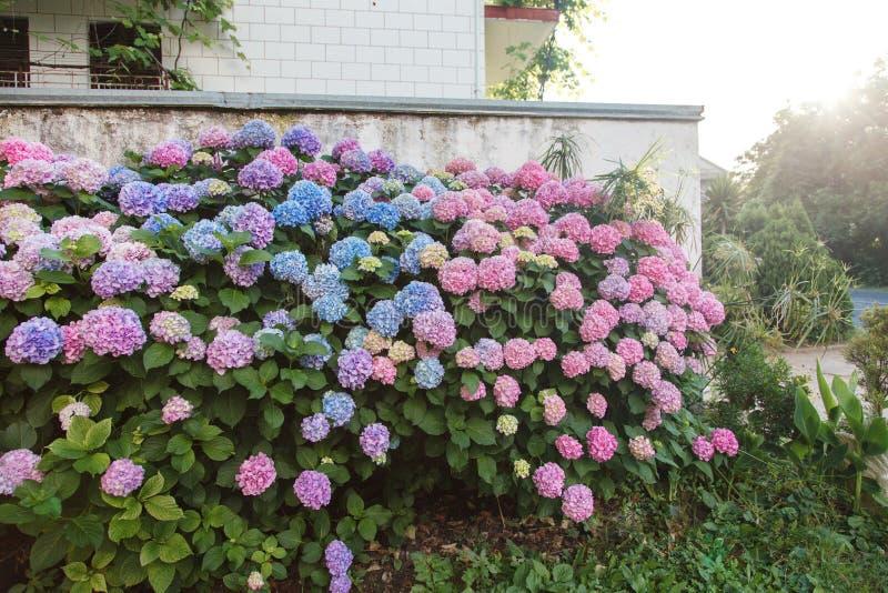 Hortensiegarten durch Haus bei Sonnenuntergang Büsche ist das Rosa, blau, lila, purpurrot Blumenhecke blüht in der Landschaft stockbild