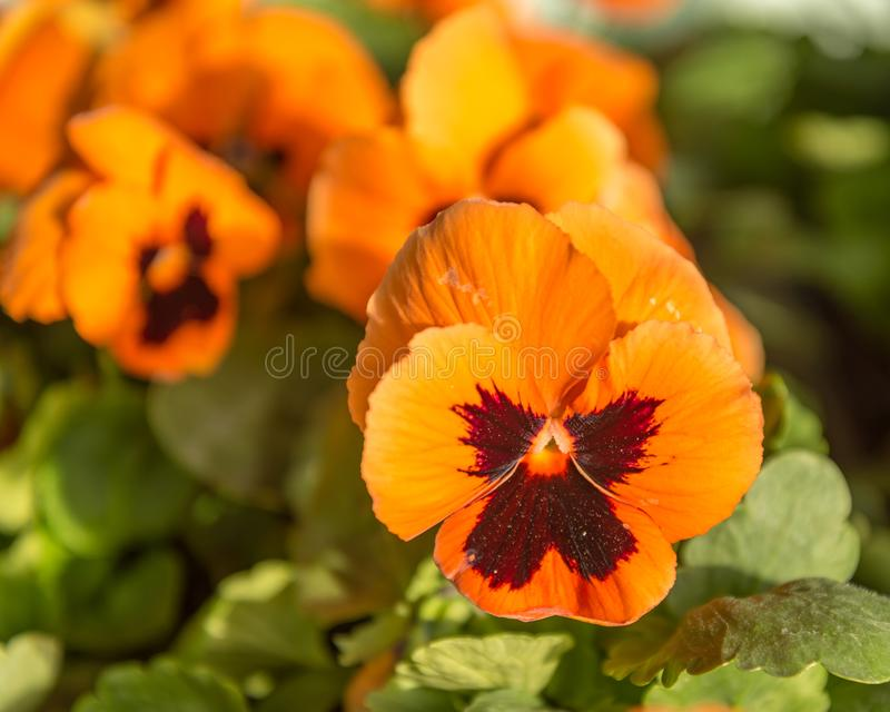 Hortensis tricolore dei petali della viola arancio dei fiori immagini stock libere da diritti