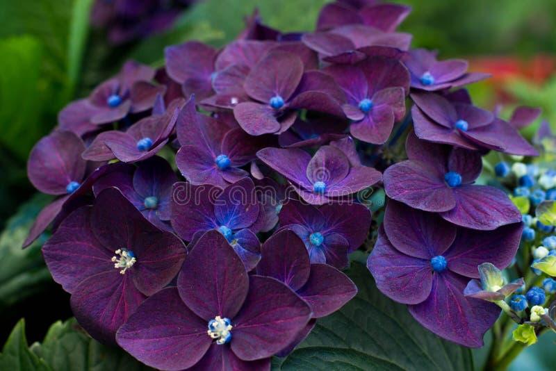 hortensj purpury zdjęcia royalty free