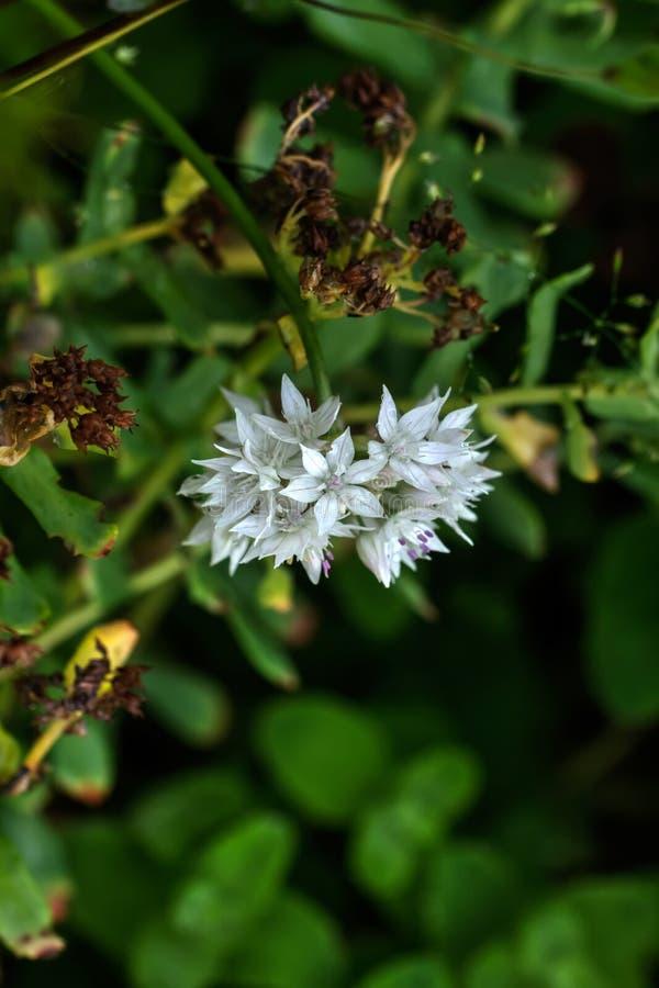 hortensja Kultywujący kwiat fotografia stock