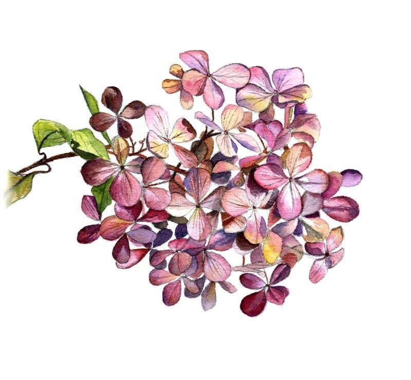 Hortensja kwiat na gałąź, akwareli Botaniczny nakreślenie na białym tle isolate royalty ilustracja