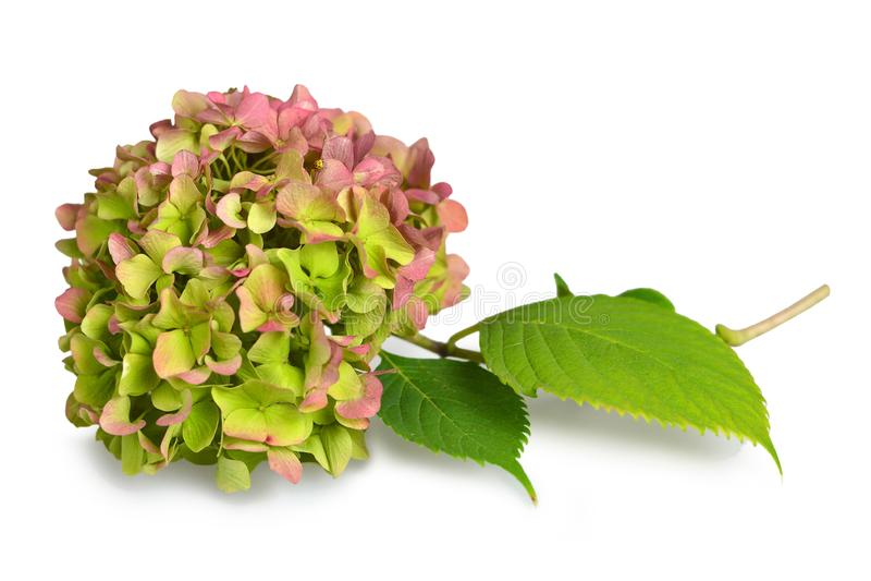 Hortensja kwiat odizolowywający na bielu obraz royalty free