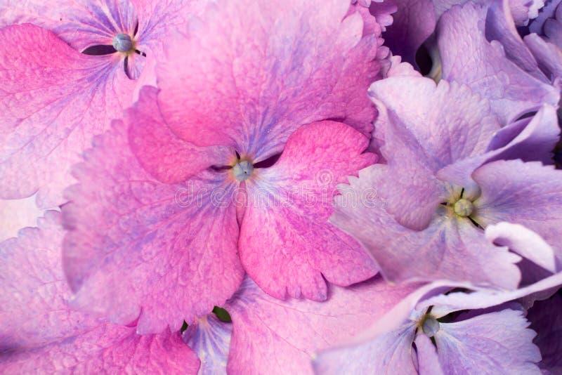 Hortensja kwiatu tła zakończenie up zdjęcie royalty free