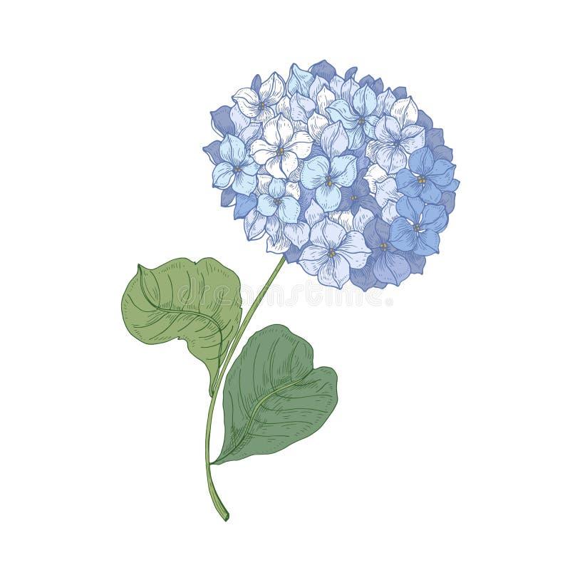 Hortensja lub hortensia kwitnienia kwiat odizolowywający na białym tle Szczegółowy naturalny rysunek ogrodowy ornamentacyjny ilustracji