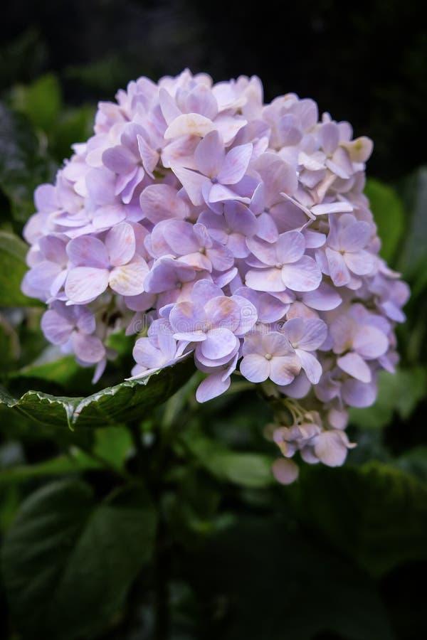 Hortensja Motyli kwiat sen obrazy royalty free