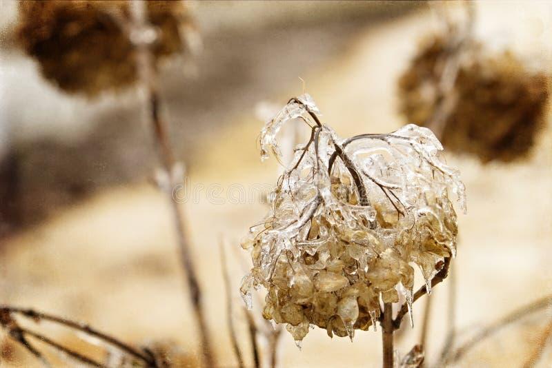 Hortensja obramowana w lodzie fotografia stock