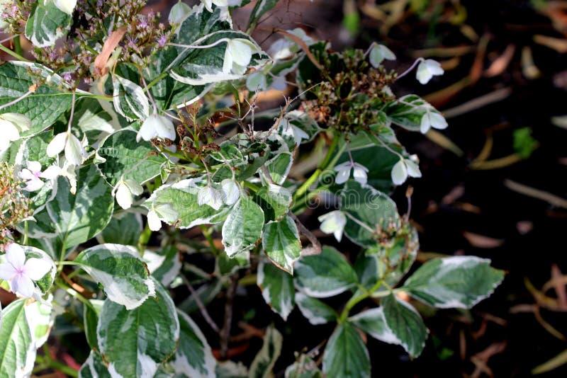 Hortensji macrophylla «Maculata «, obrazy royalty free