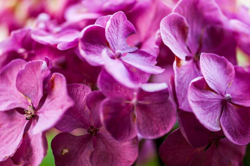 Hortensji macrophylla hortensia kwiatu purpur okwitnięcie NEF zdjęcie stock