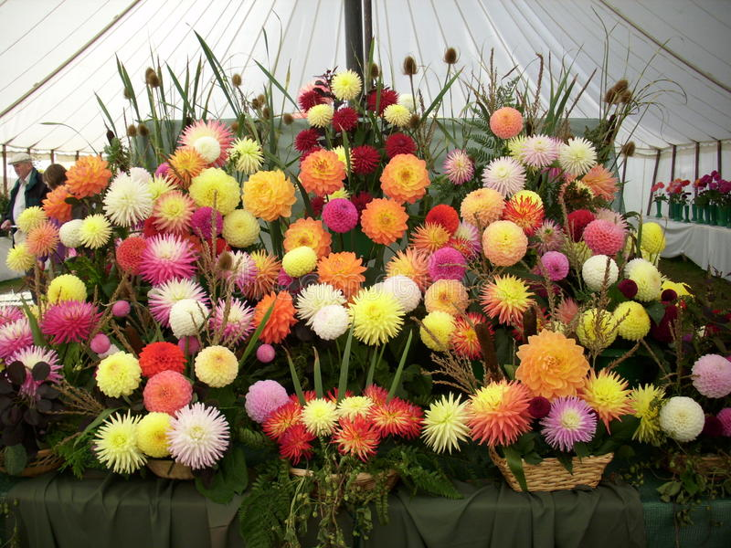 Horticultural show chrysanthemum exhibit. A stunning display of flowers from a horticultural show chrysanthemum exhibit. Taken in a marquee royalty free stock photos