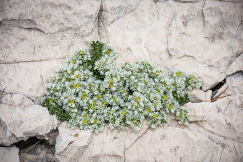 Horticulture blanche semi-transparente minuscule hors de la pierre photo stock