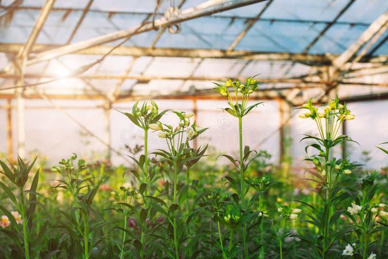 Horticulture d'Alstroemeria en serre chaude image stock