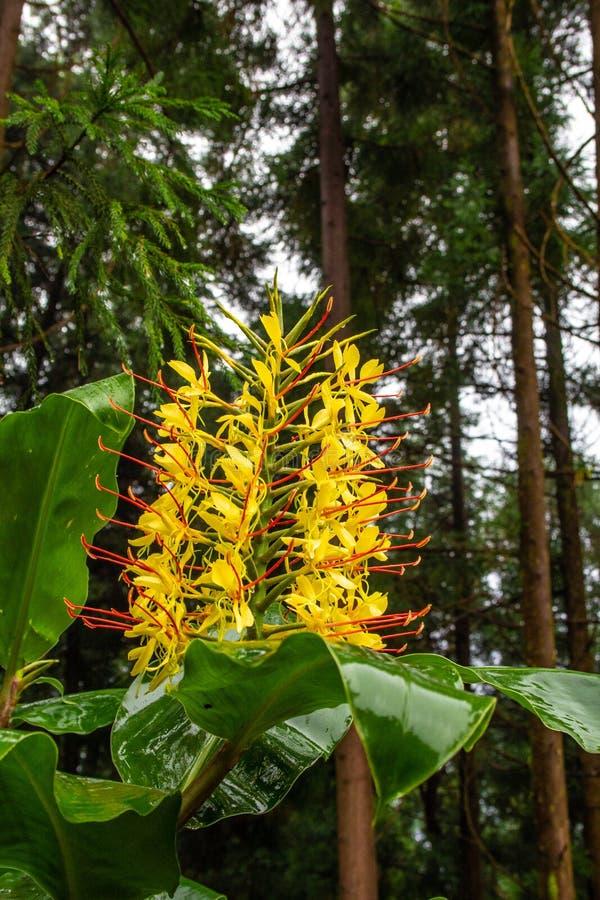 Horticulture de gardnerianum de Conteira Hedychium dans les forêts vertes sur le sao Miguel Island, Açores, Portugal photographie stock