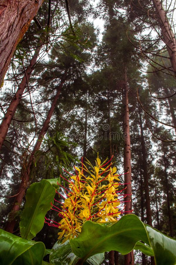 Horticulture de gardnerianum de Conteira Hedychium dans les forêts vertes sur le sao Miguel Island, Açores, Portugal image stock