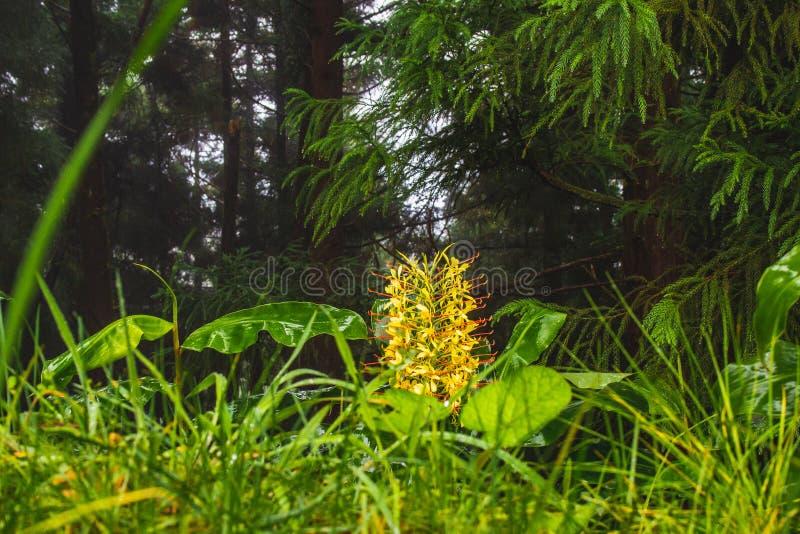 Horticulture de gardnerianum de Conteira Hedychium dans les forêts vertes sur le sao Miguel Island, Açores, Portugal photos libres de droits
