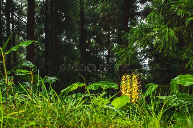 Horticulture de gardnerianum de Conteira Hedychium dans les forêts vertes sur le sao Miguel Island, Açores, Portugal image libre de droits