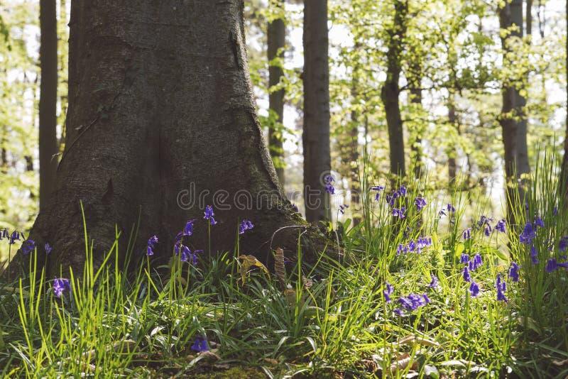 horticulture de jacinthes des bois sur le pied d'un arbre photographie stock