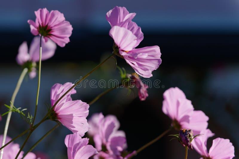Horticulture ensoleillée vive de cosmos dans un jardin dans Lindfield Wes photographie stock libre de droits