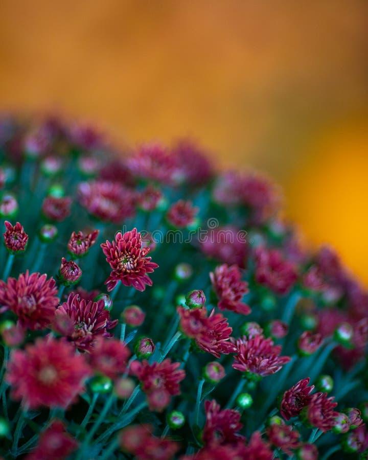Horticulture Fleurs de chute rouge Mums Chrysanthemum photographie stock libre de droits