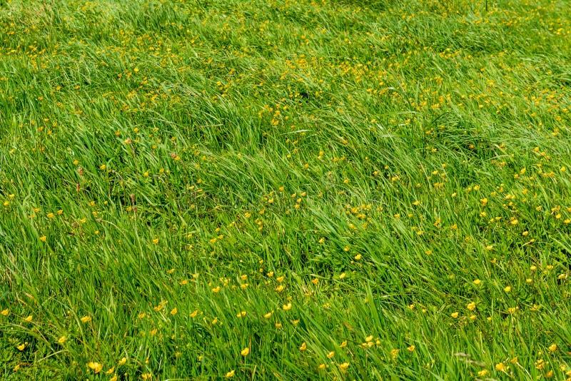 Horticulture jaune parmi l'herbe verte photographie stock