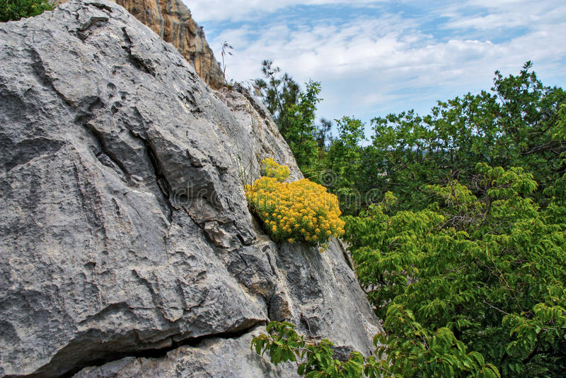 Horticulture jaune sur la roche photo stock