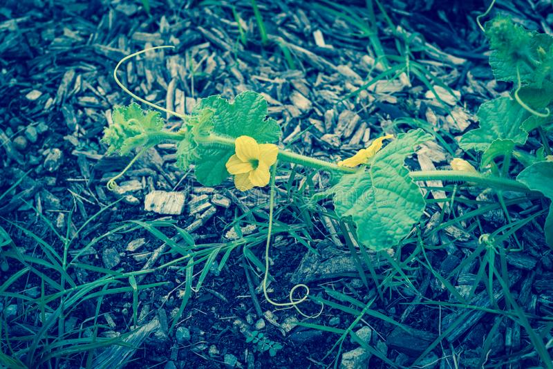 Horticulture organique jaune filtrée de cantaloup de foyer sélectif d'image photos stock