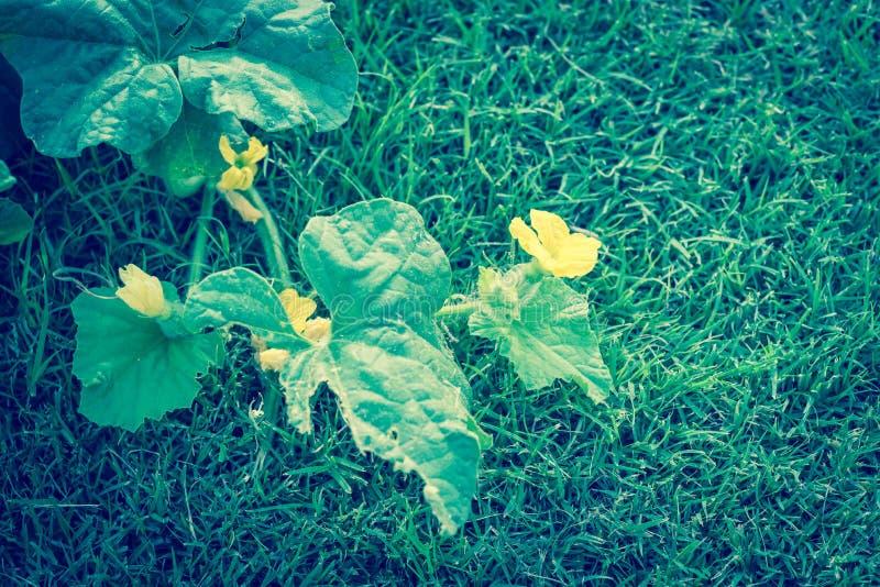 Horticulture organique jaune filtrée de cantaloup de foyer sélectif d'image image stock