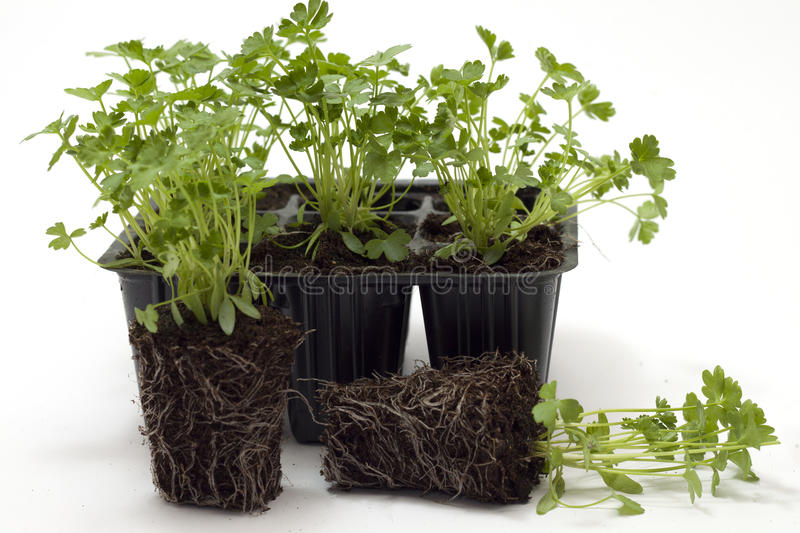 Horticulture. Parsley seedlings for transplanting royalty free stock image