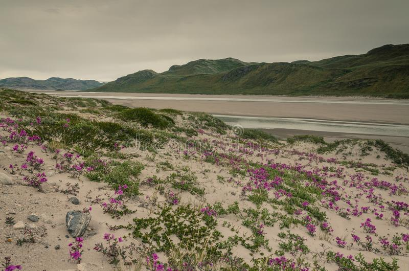 Horticulture rose dans le climat de désert près de la calotte glaciaire Greenlandic, Groenland photos libres de droits