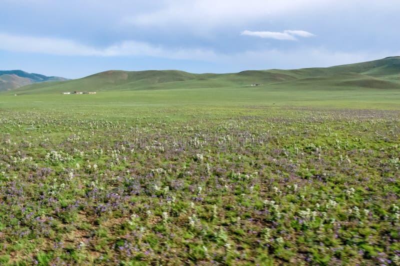 Horticulture sauvage sur la steppe, Mongolie du nord photo stock