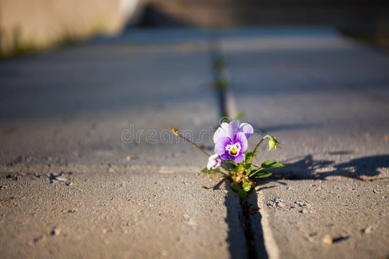 Horticulture violette entre le pavage de pierre images stock