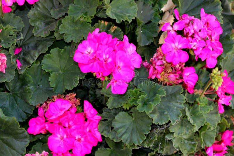 Hortorum πελαργονίων, γεράνι κήπων, δημοφιλής διακοσμητικός, στοκ φωτογραφία με δικαίωμα ελεύθερης χρήσης