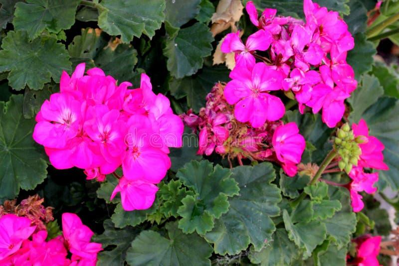 Hortorum πελαργονίων, γεράνι κήπων, δημοφιλής διακοσμητικός, στοκ εικόνες