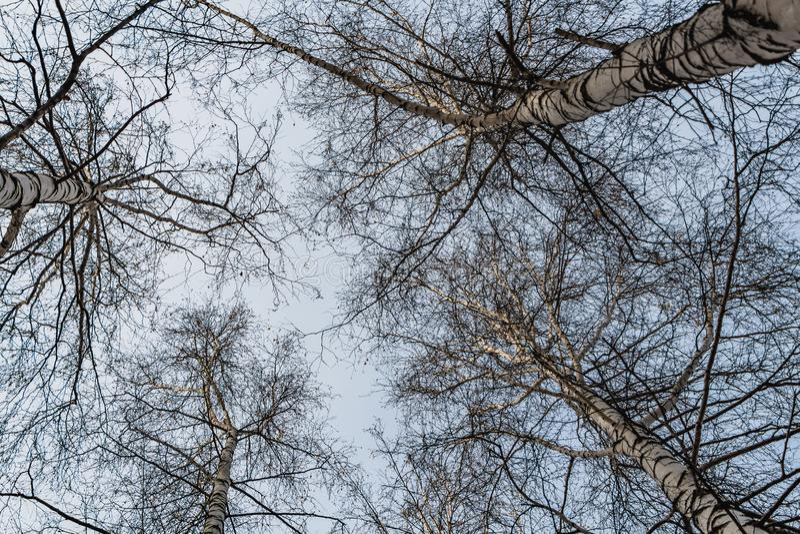 Horyzontalna fotografia grupa białej brzozy drzewa bez ulistnienia przeciw niebieskiego nieba tłu w lesie w jesieni zdjęcia royalty free