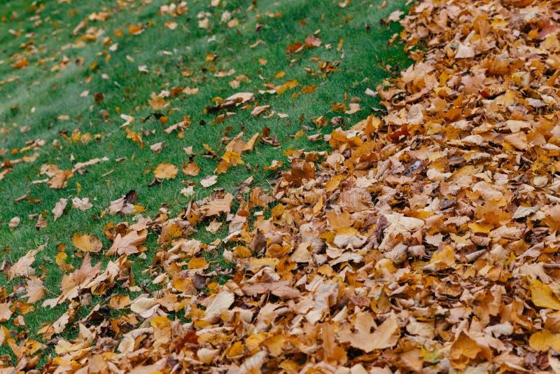 Horyzontalny strzał żółci liście na zielonej trawy tle może używać dla twój tła Klonowy ulistnienie podczas światła słonecznego N fotografia royalty free