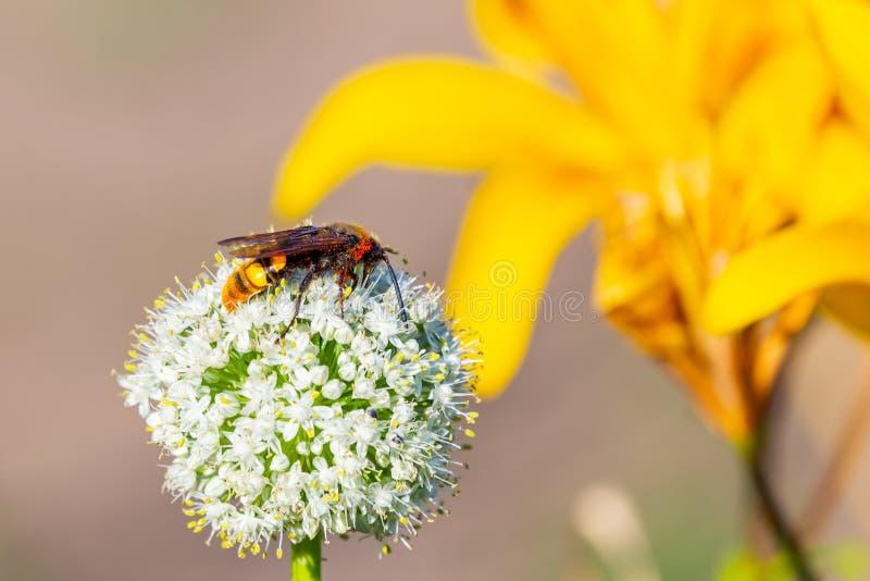 Horzel op de bloem van de tuinui stock afbeeldingen