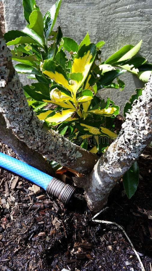 Hose watering a plant royalty free stock images