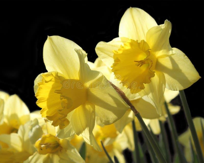 Beautiful Host of Golden Daffodils stock photo