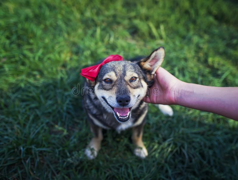 Host`s hand strokes behind the ear cute brown pretty a smiling dog in an elegant red butterfly in the summer garden on the green stock images