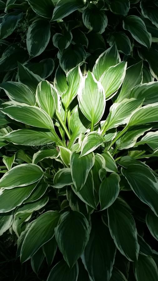 Hosta obraz stock