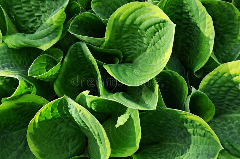 Hosta blooming leaves in early summer stock photos