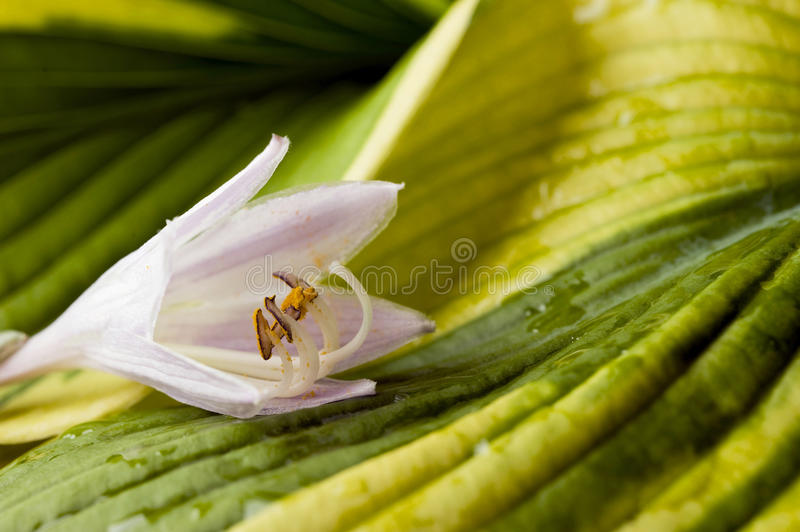 Download Hosta blossom stock photo. Image of colorful, plant, pollen - 25722626