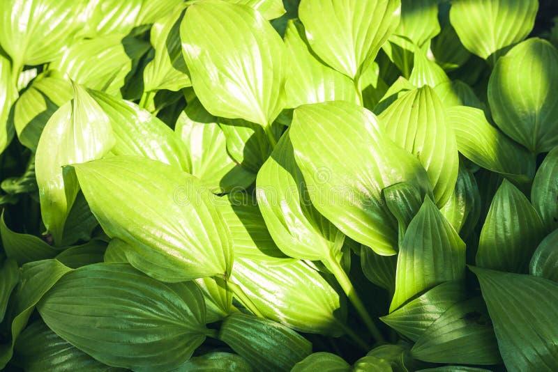 Hosta com fundo verde da textura das folhas, plantas em um jardim fotos de stock royalty free