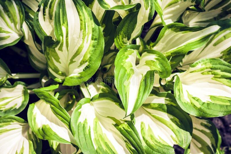 Hosta com fundo verde da textura das folhas, plantas em um jardim fotografia de stock royalty free