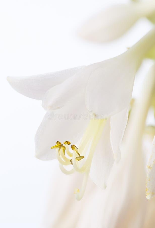 Hosta floreciente de las flores Planta perenne en un fondo blanco fotografía de archivo libre de regalías