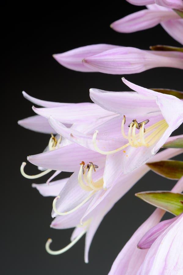 Hosta Funkia ou banana-da-terra Lily Flowers Macro fotografia de stock royalty free